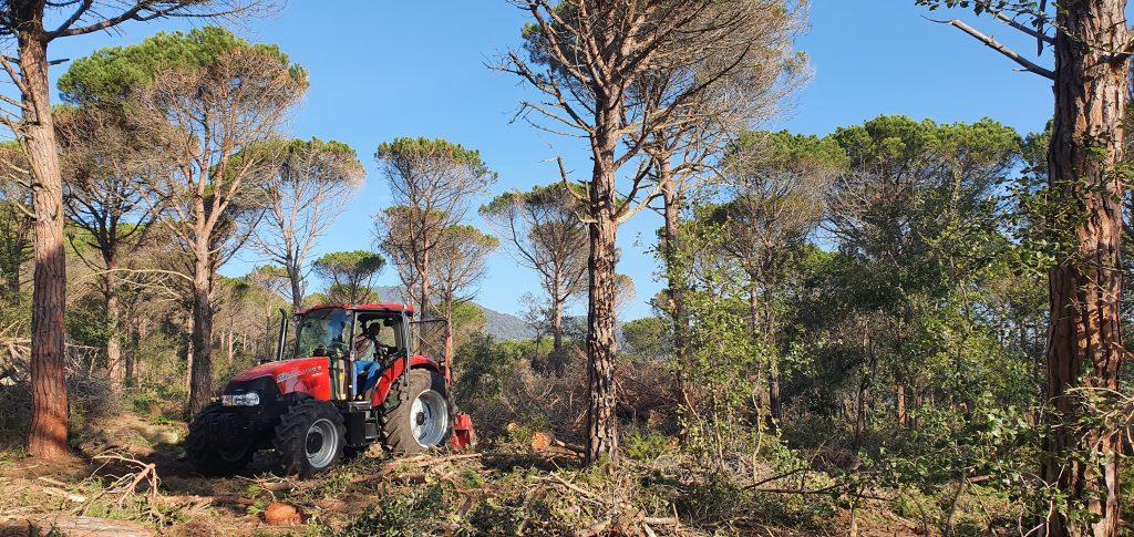 Treballs d'aclarida intensa de pi pinyer a Can Mora (Sant Vicenç de Montalt)